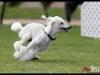 Agility Dogs